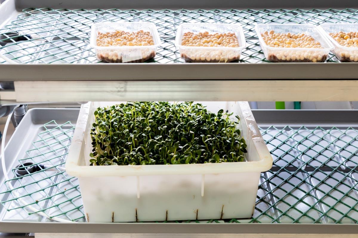 Как выращивают микрозелень: репортаж с производства «Еда со смыслом»