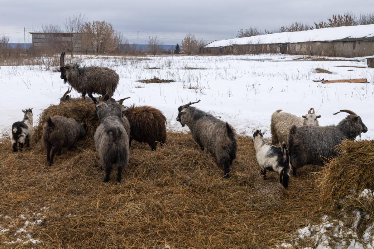 Частное племенное хозяйство: как выжить фермеру